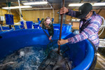 UNH Harvests Tilapia fo NH Food Bank